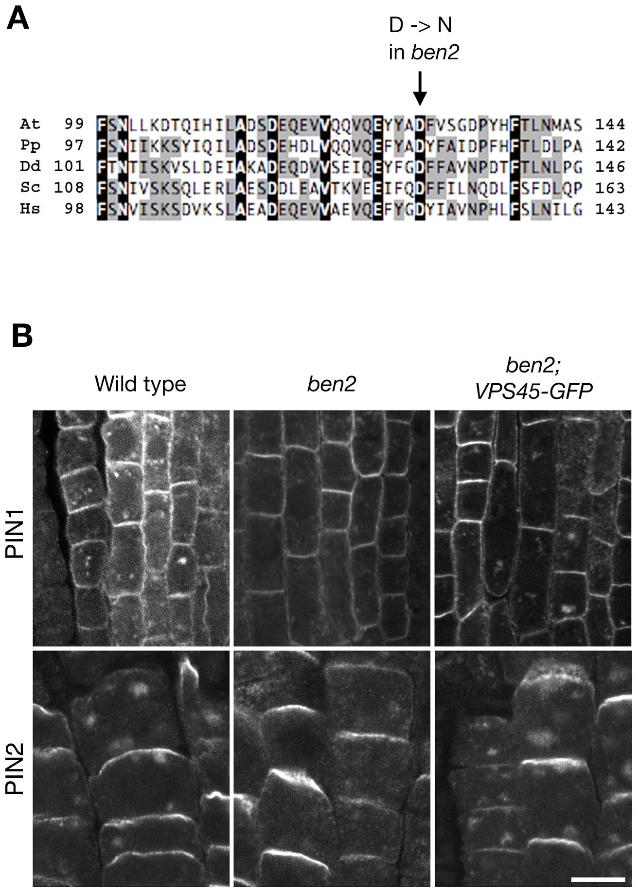 <i>BEN2</i> encodes a SM protein AtVPS45.