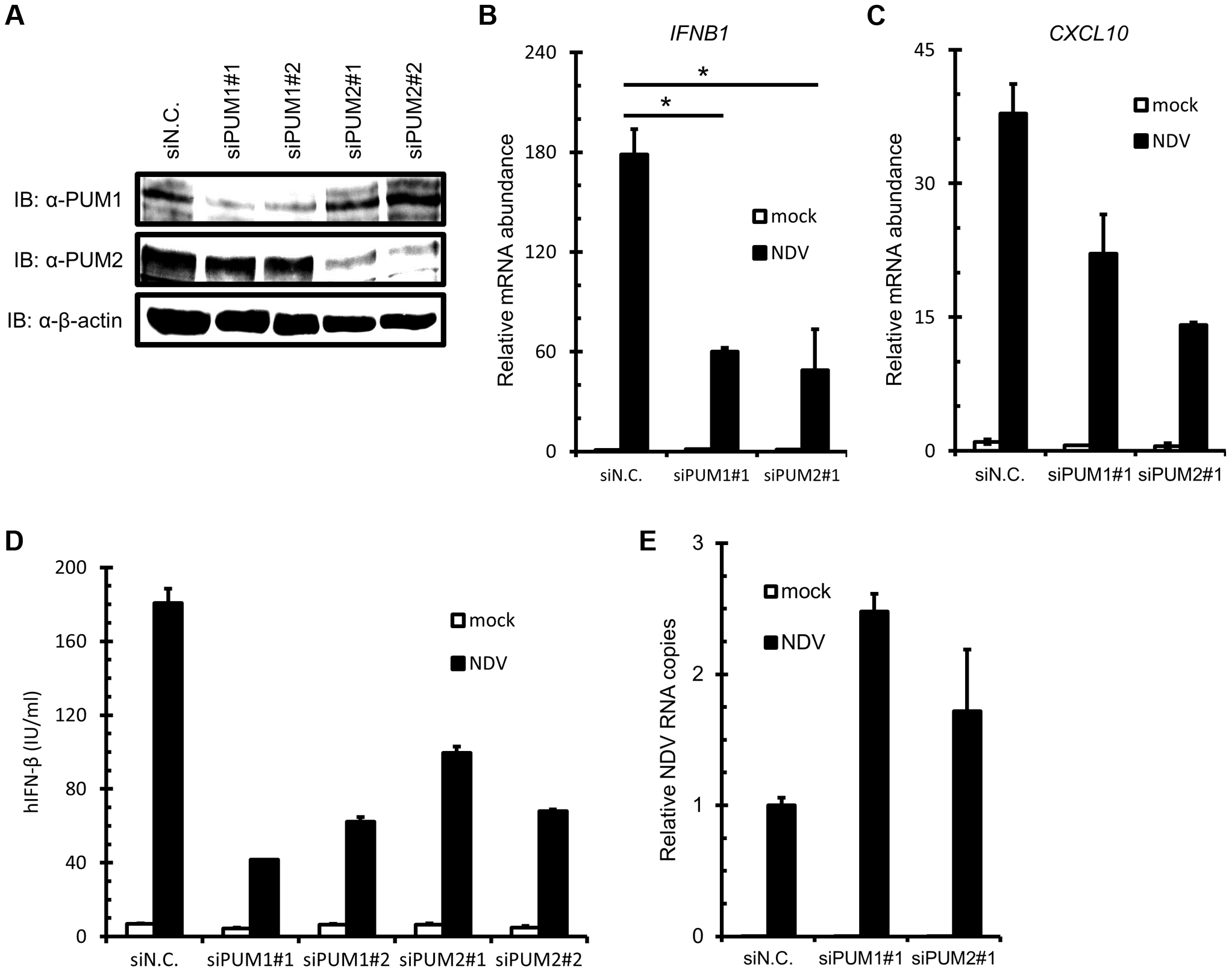 Knockdown of PUM1 and PUM2 downregulates NDV-induced gene activation.