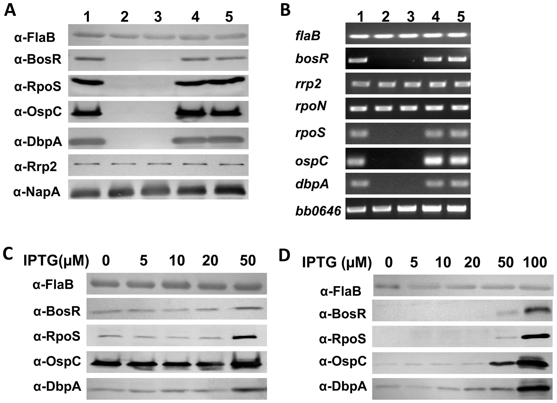 BosR activates the expression of <i>rpoS</i>, <i>ospC</i> and <i>dbpA</i>.