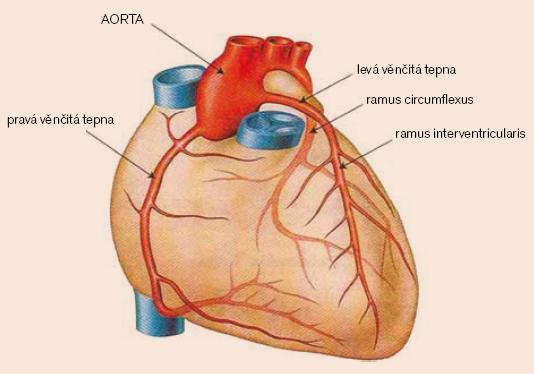 Anatomie koronárních tepen [11].