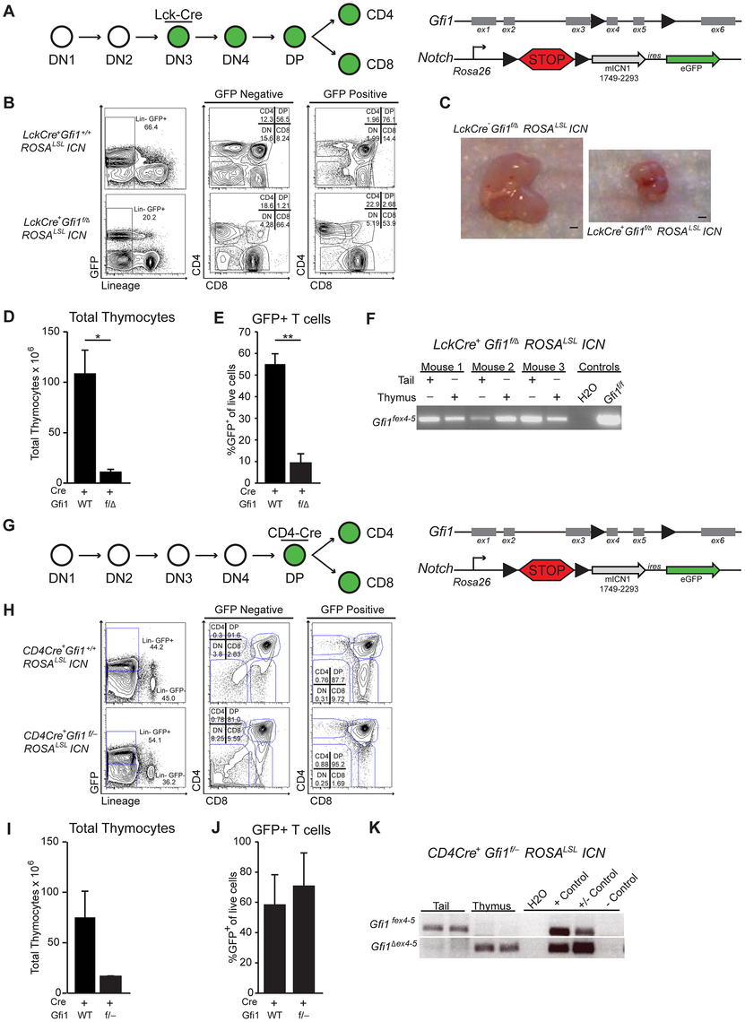Loss of <i>Gfi1</i> and activation of intracellular Notch1 results in thymic hypoplasia.