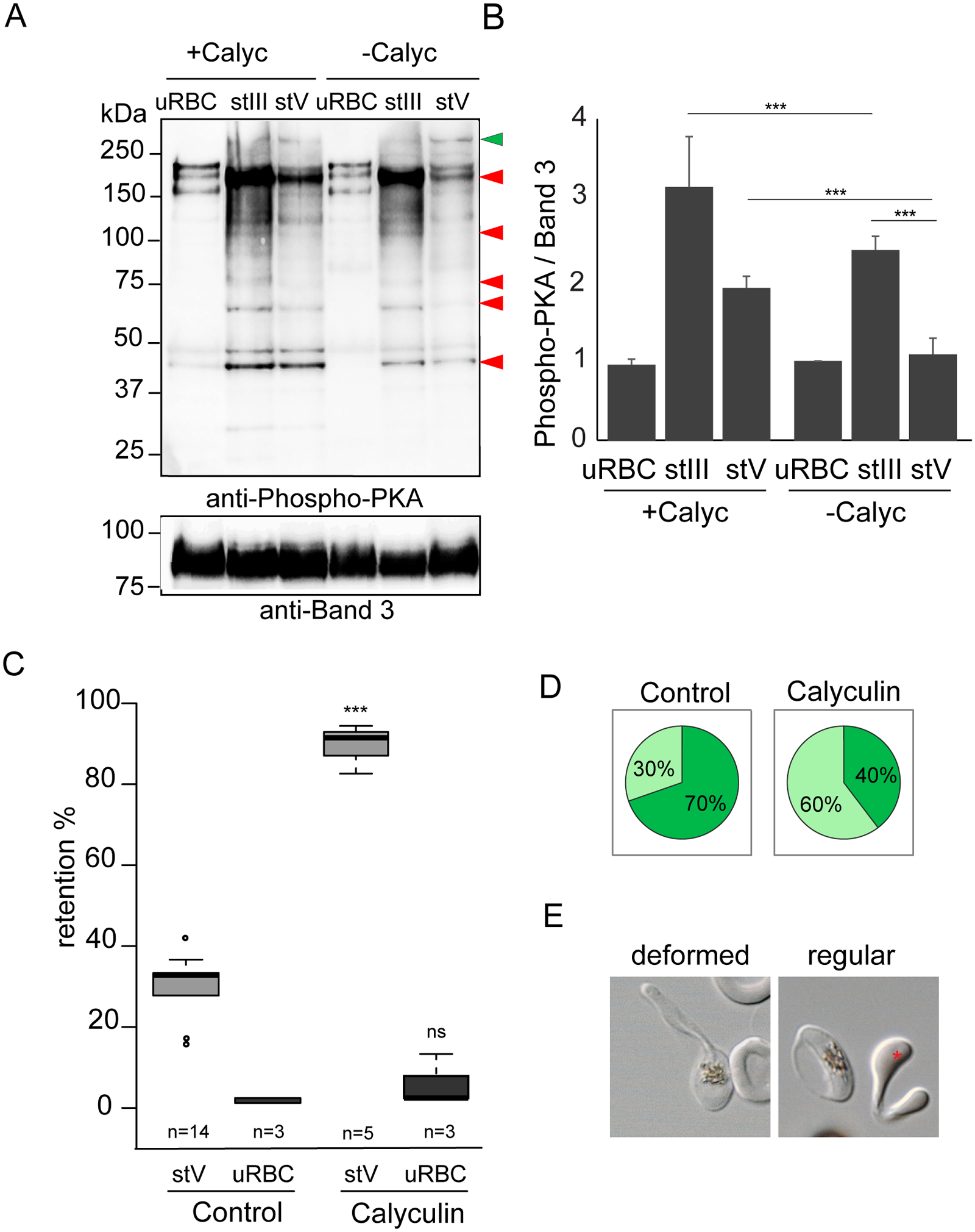 Phosphorylation events contribute to the switch in deformability.
