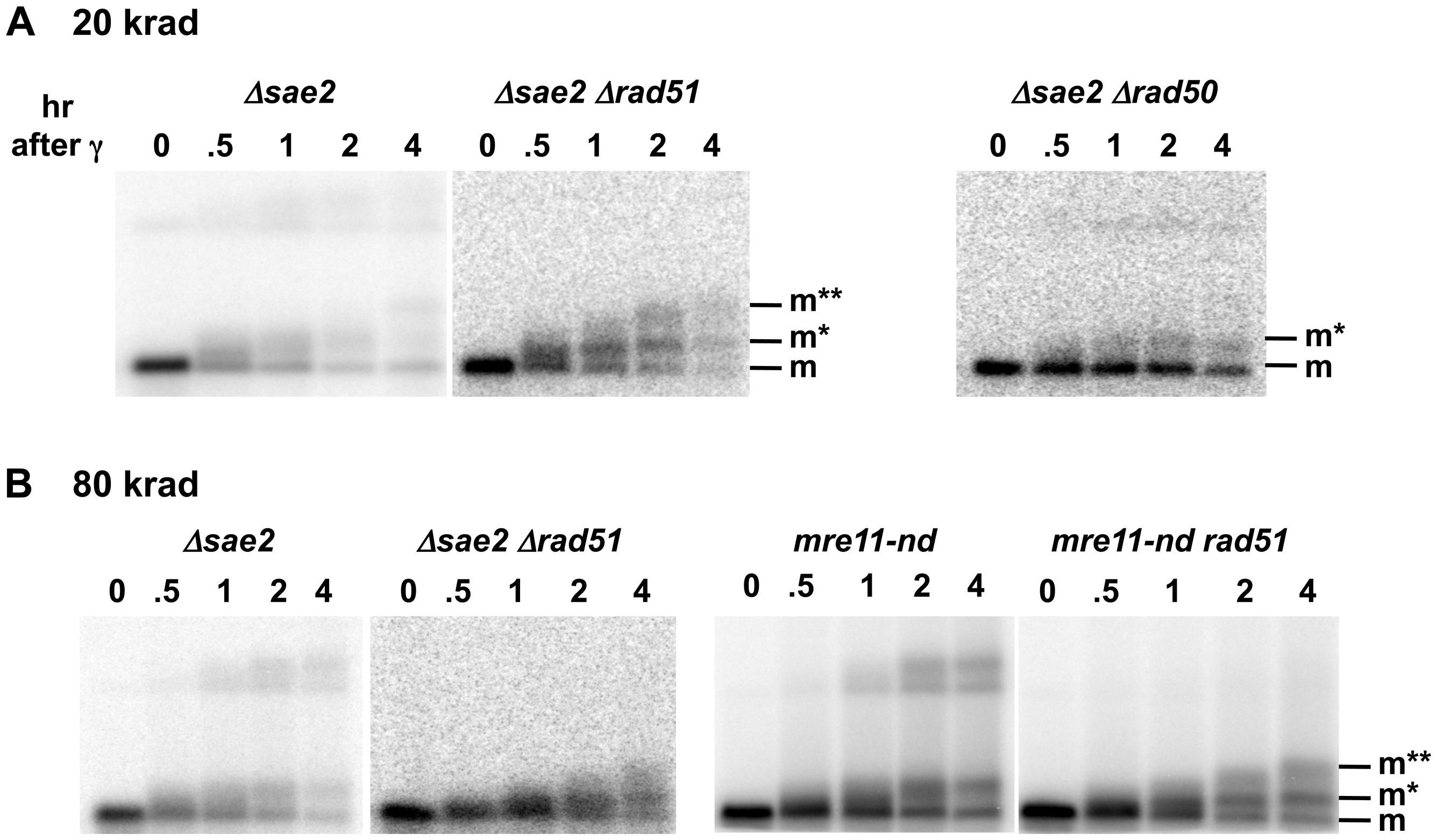 Sae2 and Mre11-nuclease are required for coincident resection, DSB repair, and high survival following IR of G2 arrested cells.