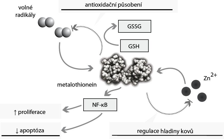 Biologické působení metalothioneinu. Hladina metalothioneinu (MT) je zvyšována zejména vlivem volných radikálů a zvýšenou hladinou kovů, zejména zinku. MT se podílí na detoxikaci těchto kovů a spolu s glutathionem (GSH) působí na volné radikály antioxidačně; MT zvyšuje hladinu NF-kB, a tím působí antiapopticky.