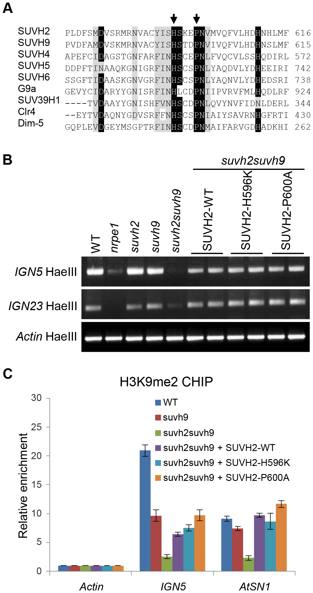 Mutation of the conserved SET domain in SUVH2 has no effect on DNA methylation and H3K9me2 at RdDM loci.
