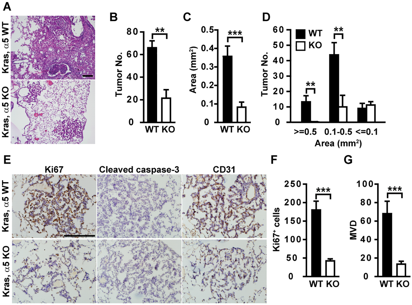 Tumor development is delayed in α5(IV)-deficient mice.