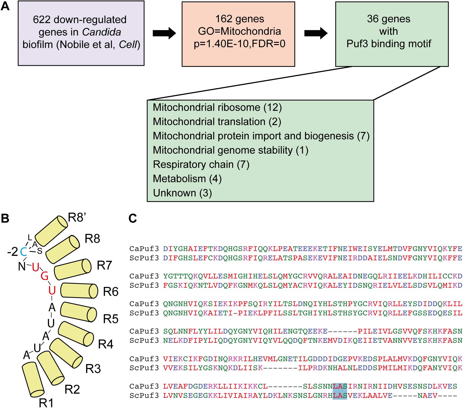 Biofilm mRNA targets of the Pumilio RNA binding protein Puf3.