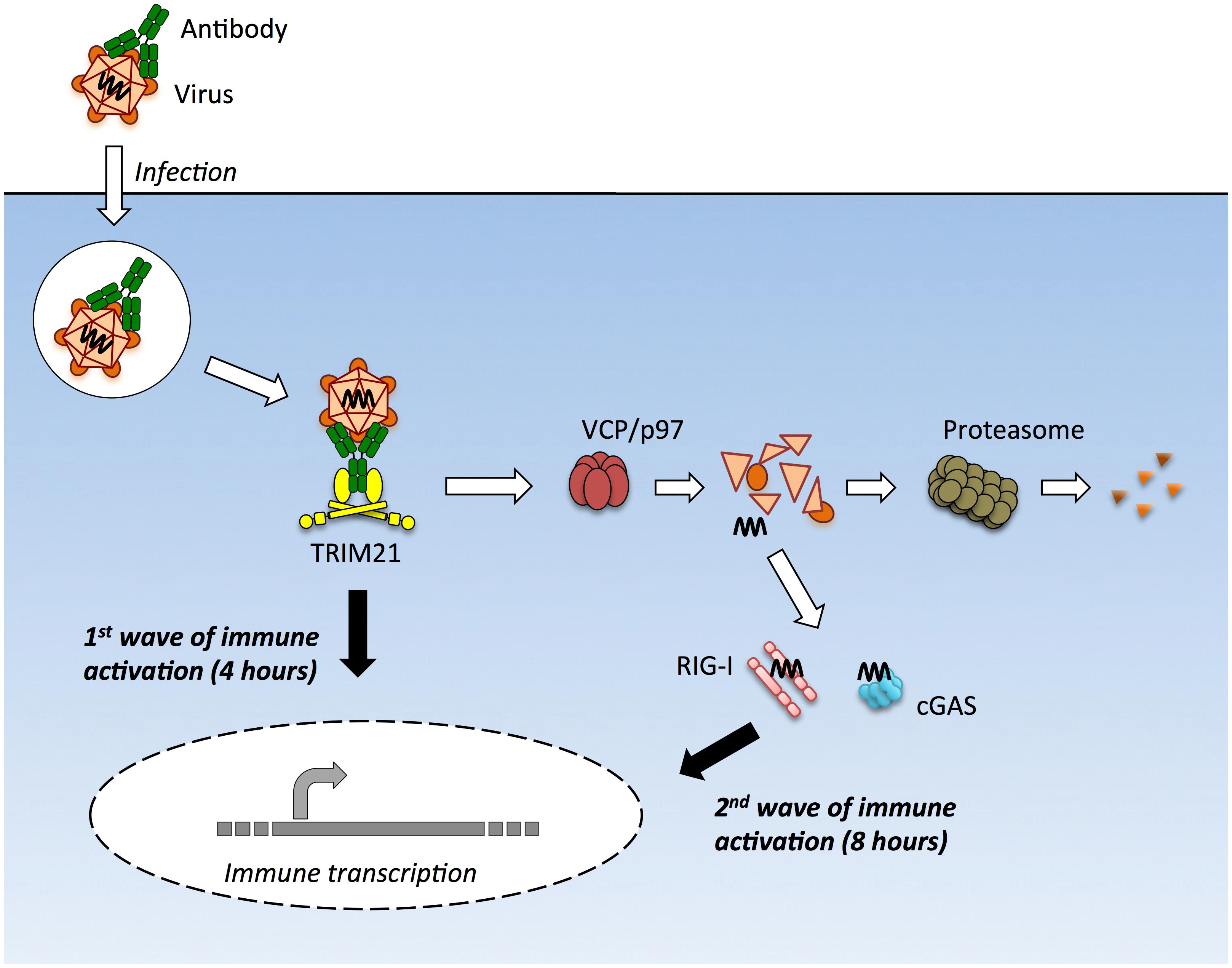 TRIM21 mediates multiple waves of immune sensing.