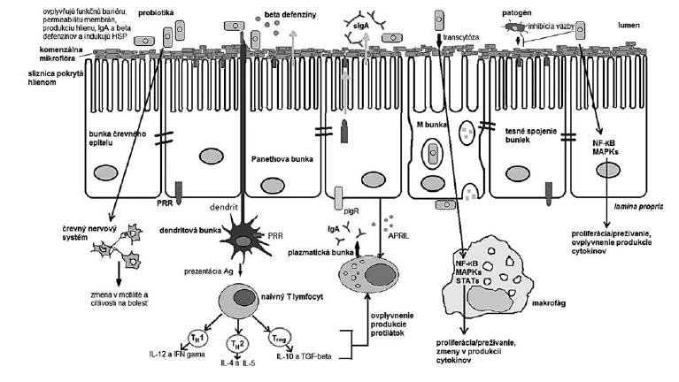 Obr. 1 Interakcie probiotických baktérií s rôznymi typmi buniek hostiteľa (podľa <sup>16, 18, 19)</sup>)