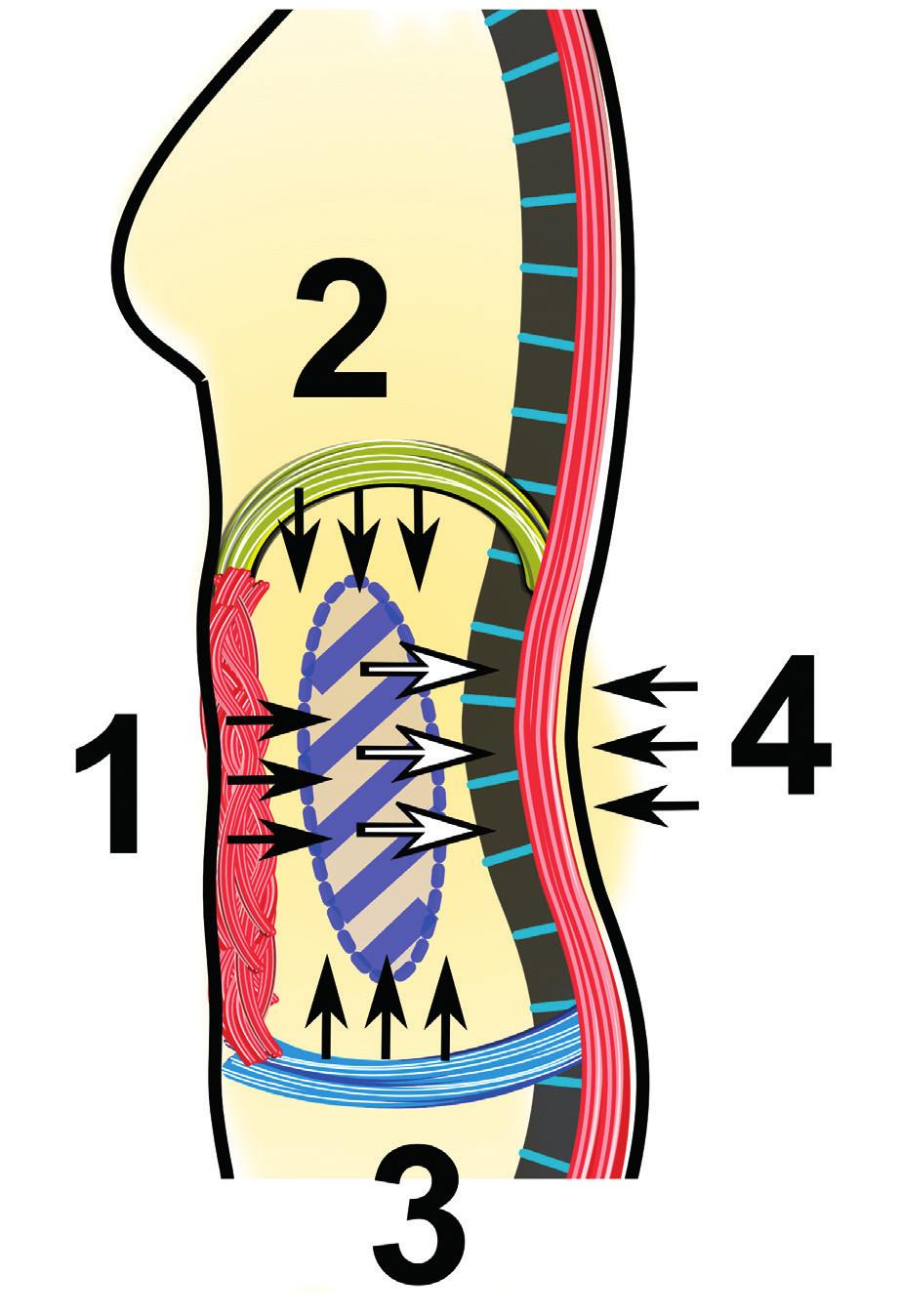 Souhra mezi ventrální a dorzální muskulaturou hlubokého stabilizačního systému bederní páteře. Stabilizace bederní páteře je z ventrální strany zajištěna převážně břišními svaly (1), bránicí (2) a svaly pánevního dna (3). Jejich společným působením vzniká nitrobřišní tlak (černé šipky, modrý ovál), který se z přední strany přenáší na bederní páteř (bílé šipky). Z dorzální strany (4) je zajištěna stabilita bederní páteře jejich antagonisty, tedy extenzory páteře (m. erector trunci).