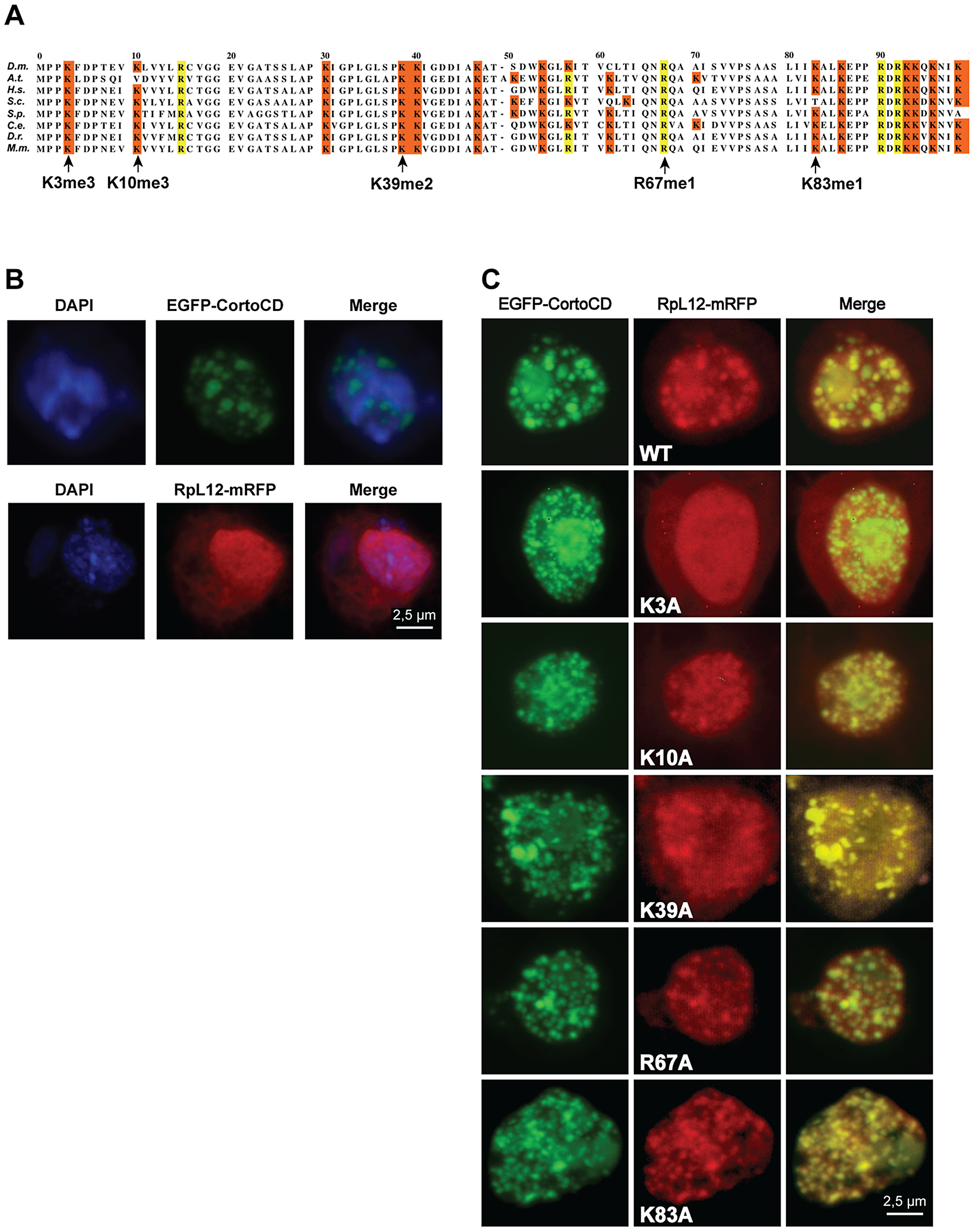 Lysine 3 of RPL12 is essential for interaction with Corto.