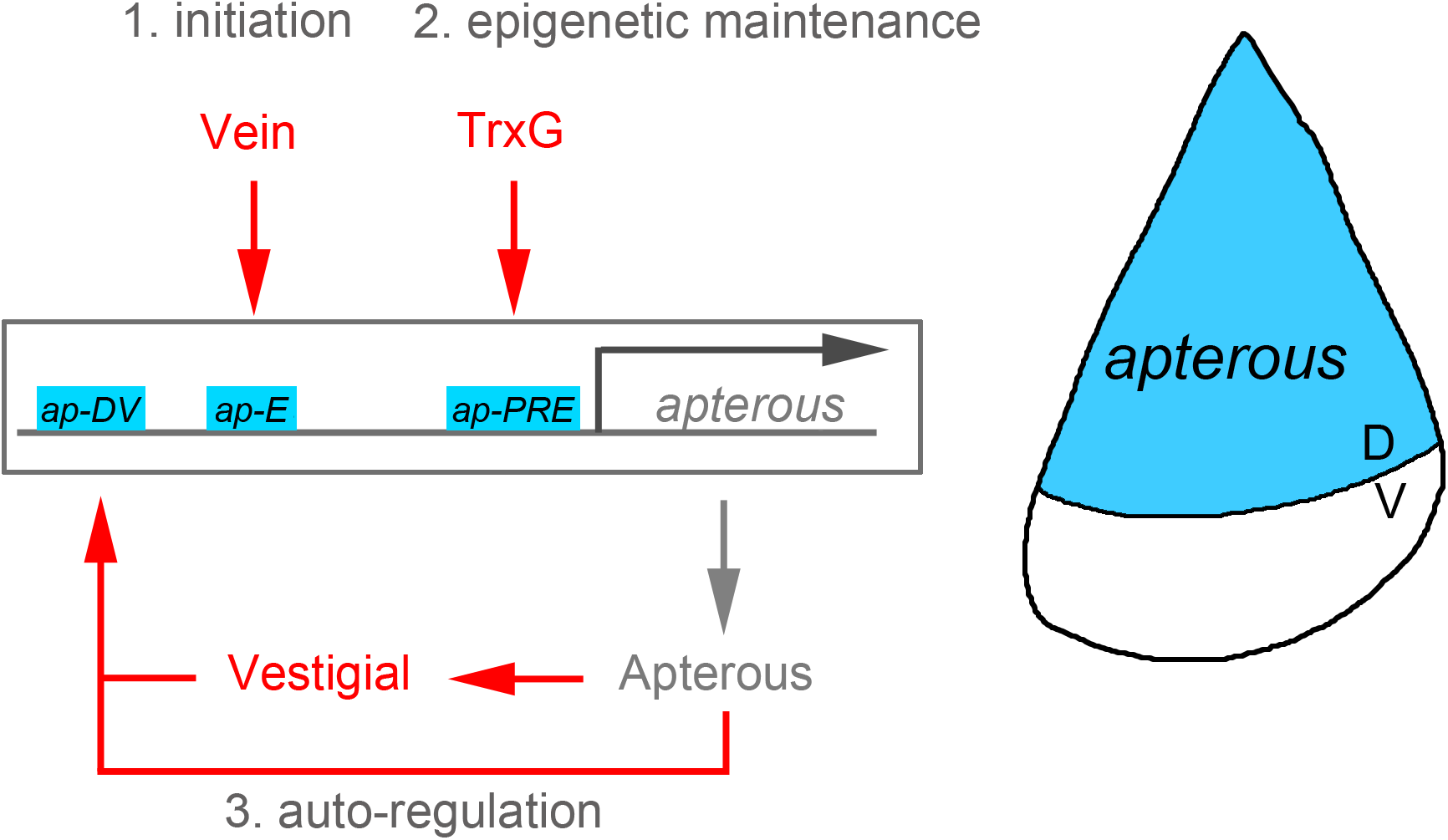 Illustration of the <i>apterous</i> locus with its regulatory regions involved in the control of its expression in the <i>Drosophila</i> wing.
