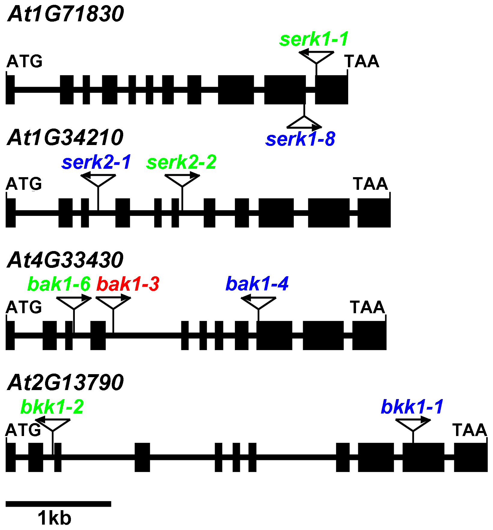Two independent sets of T-DNA insertion null mutants used in this study.