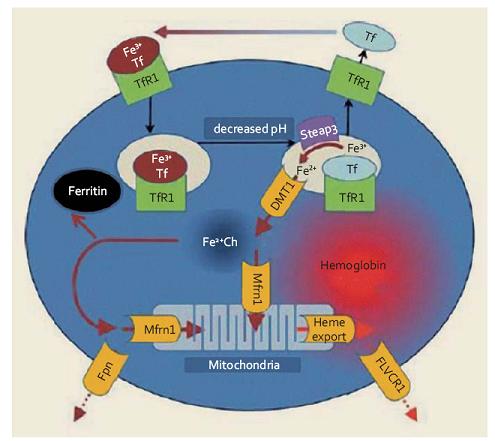 Metabolizmus železa v erytroidních prekurzorech (upraveno podle [1]). Transferin (Tf) transportující trojmocné železo se váže na povrchu buňky na transferinový receptor 1 (TfR1), celý komplex podléhá endocytóze, v kyselém prostředí pak dochází k uvolnění Fe<sup>3+</sup> z vazby na komplex Tf-TfR1 a jeho redukci na dvojmocnou formu účinkem reduktázy Steap3. Transport Fe<sup>2+</sup> do nitra buňky je zprostředkován DVMT1, z intracelulárního prostoru je buď odsunováno vázané na mitochondriální feritin (Mfrn1) do mitochondrií i je ukládáno do zásobní formy feritinu. Vytvořený hem je vázán s globinem, za určitých okolností může být železo též transportováno extracelulárně (zprostředkováno ferroportinem 1 – Fpn), stejně tak jako vznikající hem (vazbou s FLVC receptorem – FLVCR1). Fig. 1. Metabolism of iron in erythroid precursors (modified according to [1]). Transferrin (Tf) transporting ferric iron binds on the cell surface with transferrin receptor 1 (TfR1), the whole complex is endocytosed, Fe<sup>3+</sup> is then released from the TF-TfR1 complex in acidic environment and is reduced to divalent form by the Steap3 reductase. Transport of Fe<sup>2+</sup> into the intracellular space is mediated by DVMT1, once eleased, iron binds to mitochondrial ferritin and is subsequently utilised in mitochondria, or it may be stored in ferritin. De novo synthesized haem binds with globin. Under certain circumstances, iron can also be transported extracellularly (mediated by ferroportin 1 – FPN), as well as created haem (mediated by FLVC receptor – FLVCR1).