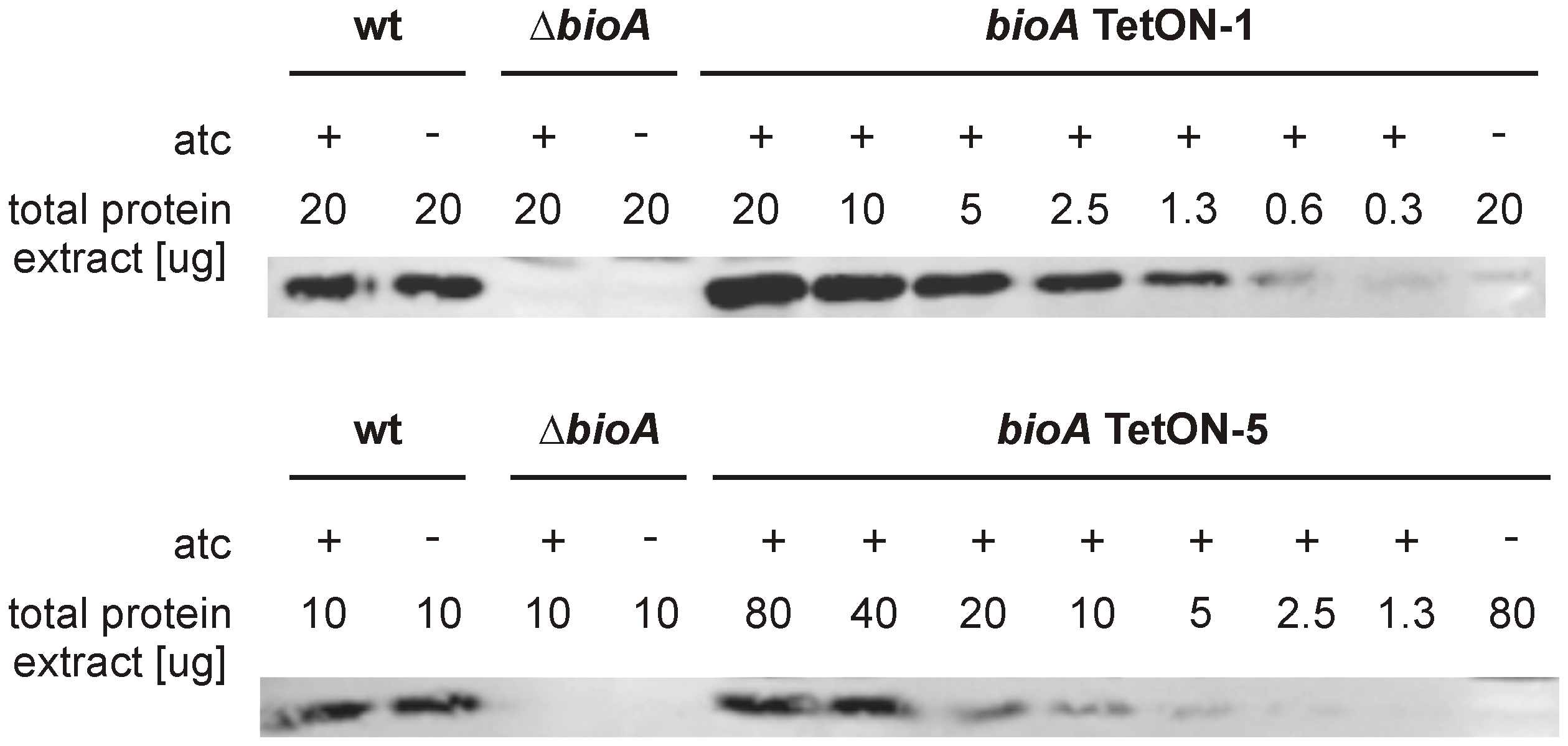 Quantitative BioA immunoblotting of <i>bioA</i> TetON-1 and <i>bioA</i> TetON-5.