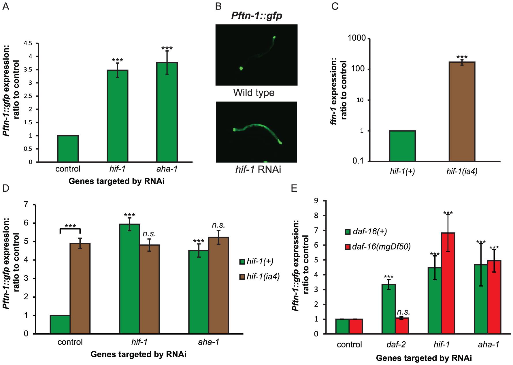 HIF signaling regulates <i>ftn-1</i> expression.
