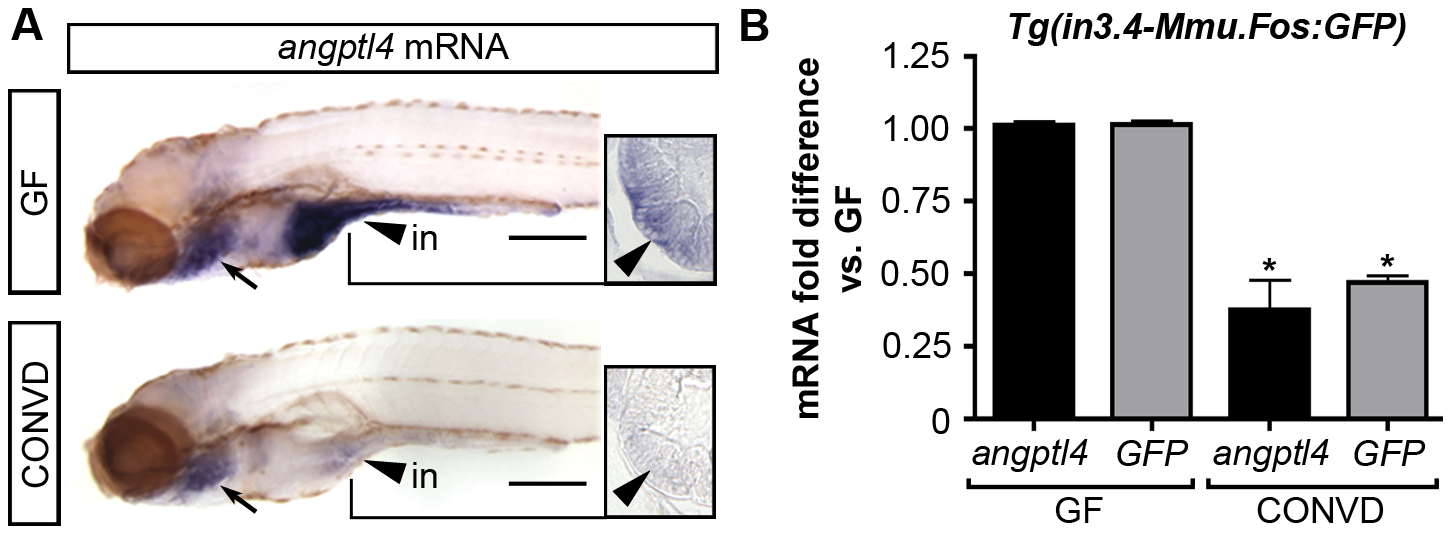 The intestinal module in3.4 recapitulates microbial suppression of <i>angptl4</i>.