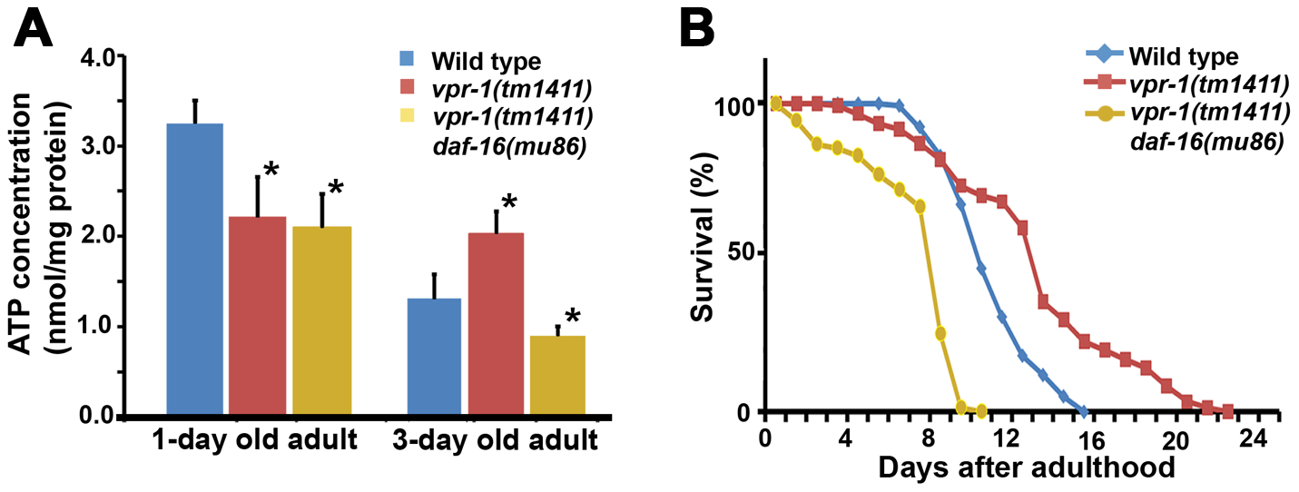 Effect of DAF-16 inactivation on ATP level and lifespan.