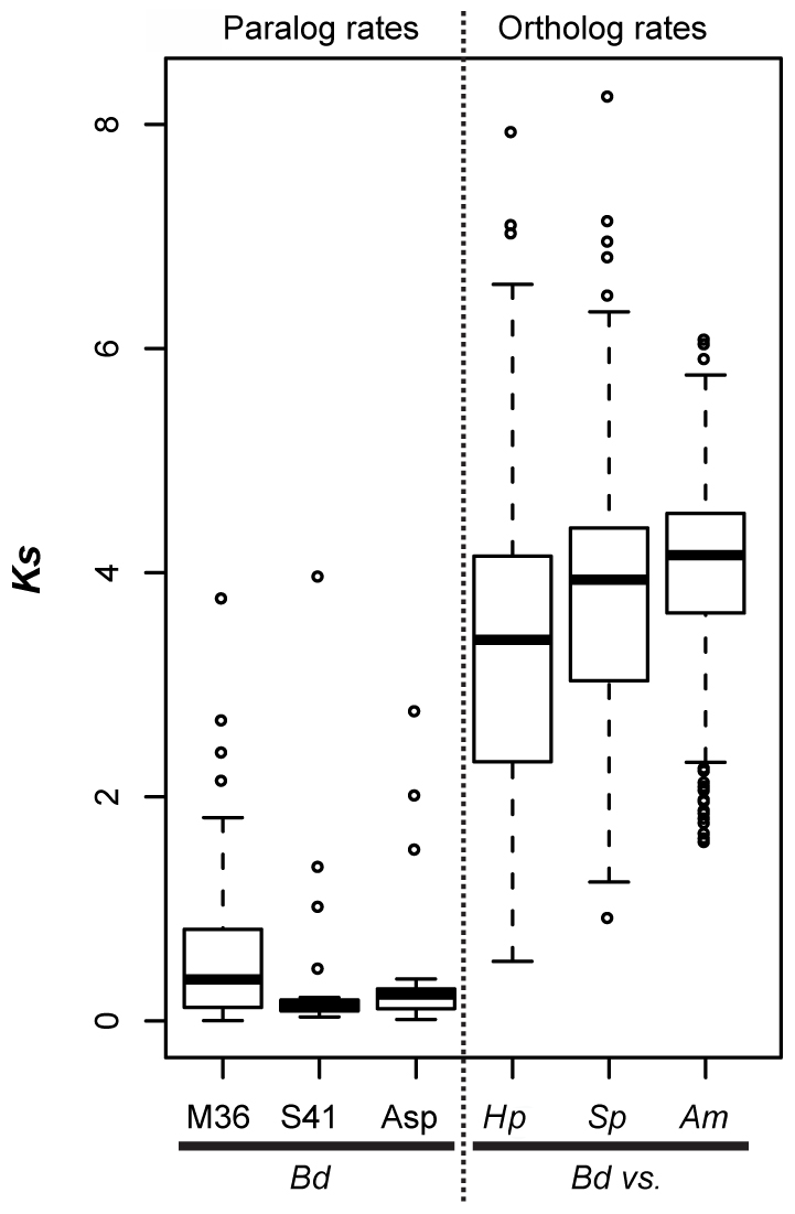 Left panel (paralog rates) shows box plots of synonymous substitution rates (<i>Ks</i>) for <i>Bd</i> lineage-specific duplicates in three protease families.
