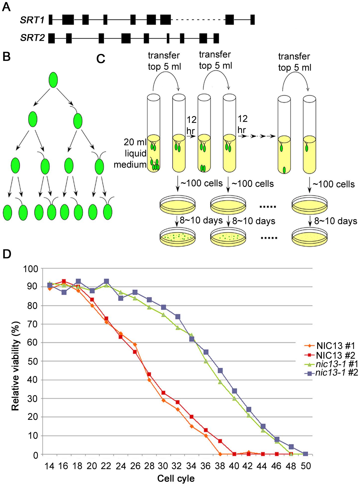<i>Chlamydomonas SRT2</i> and life span extension in <i>Chlamydomonas nic13-1</i> mutant strain.
