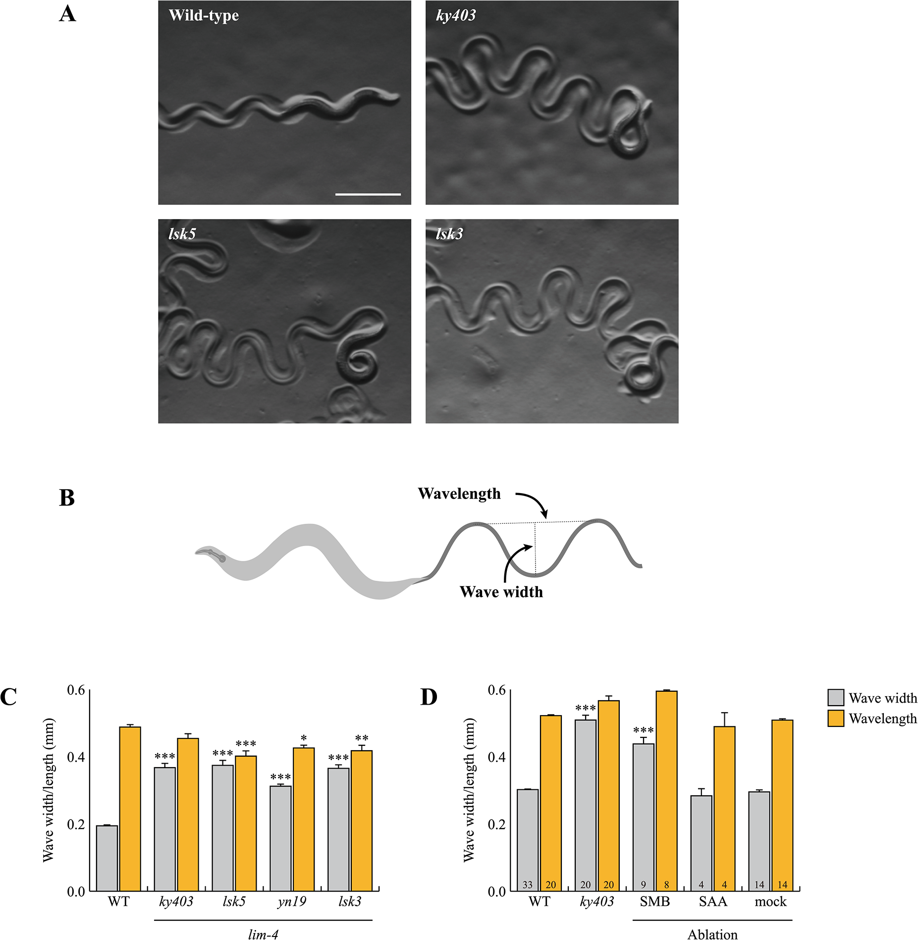 <i>lim-4</i> mutant animals moved in a coiled or loopy fashion due to the functional defects of the SMB neurons.