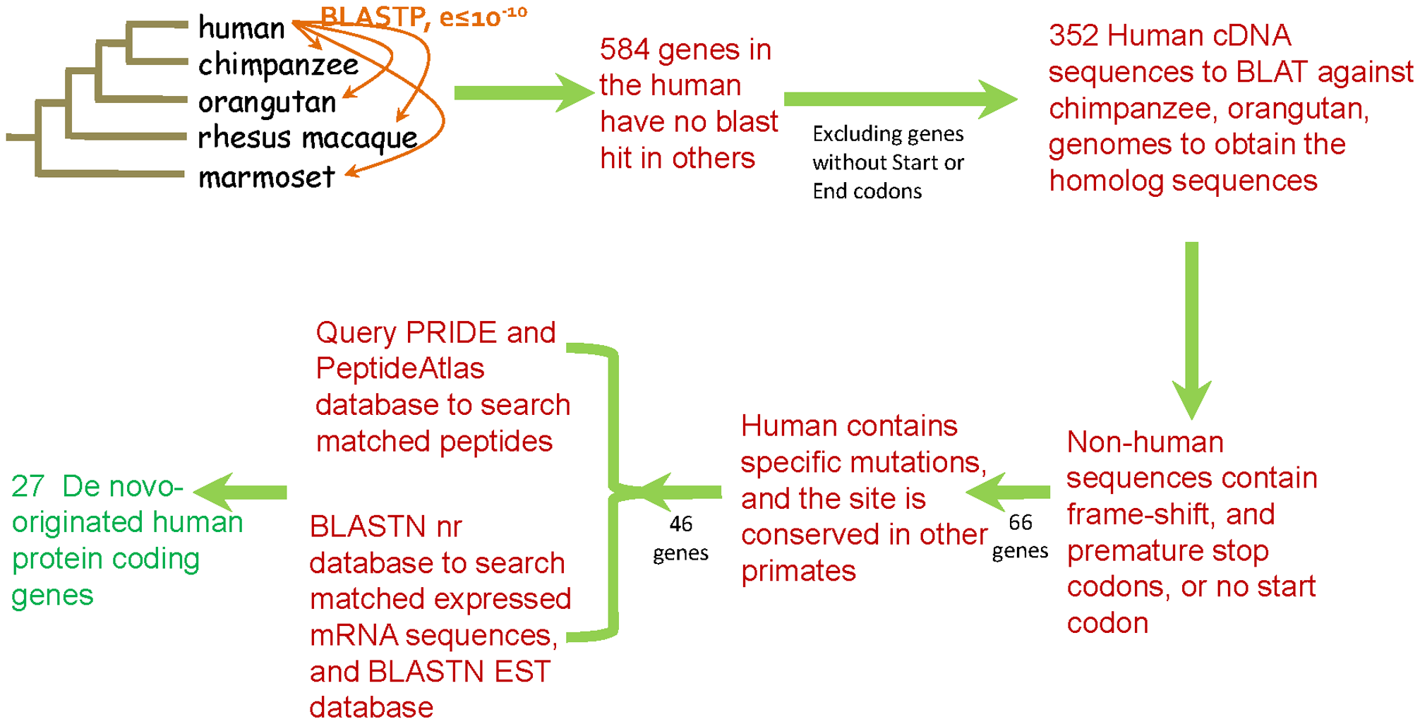 Pipeline for the identification of de novo originated protein-coding genes in the human genome.