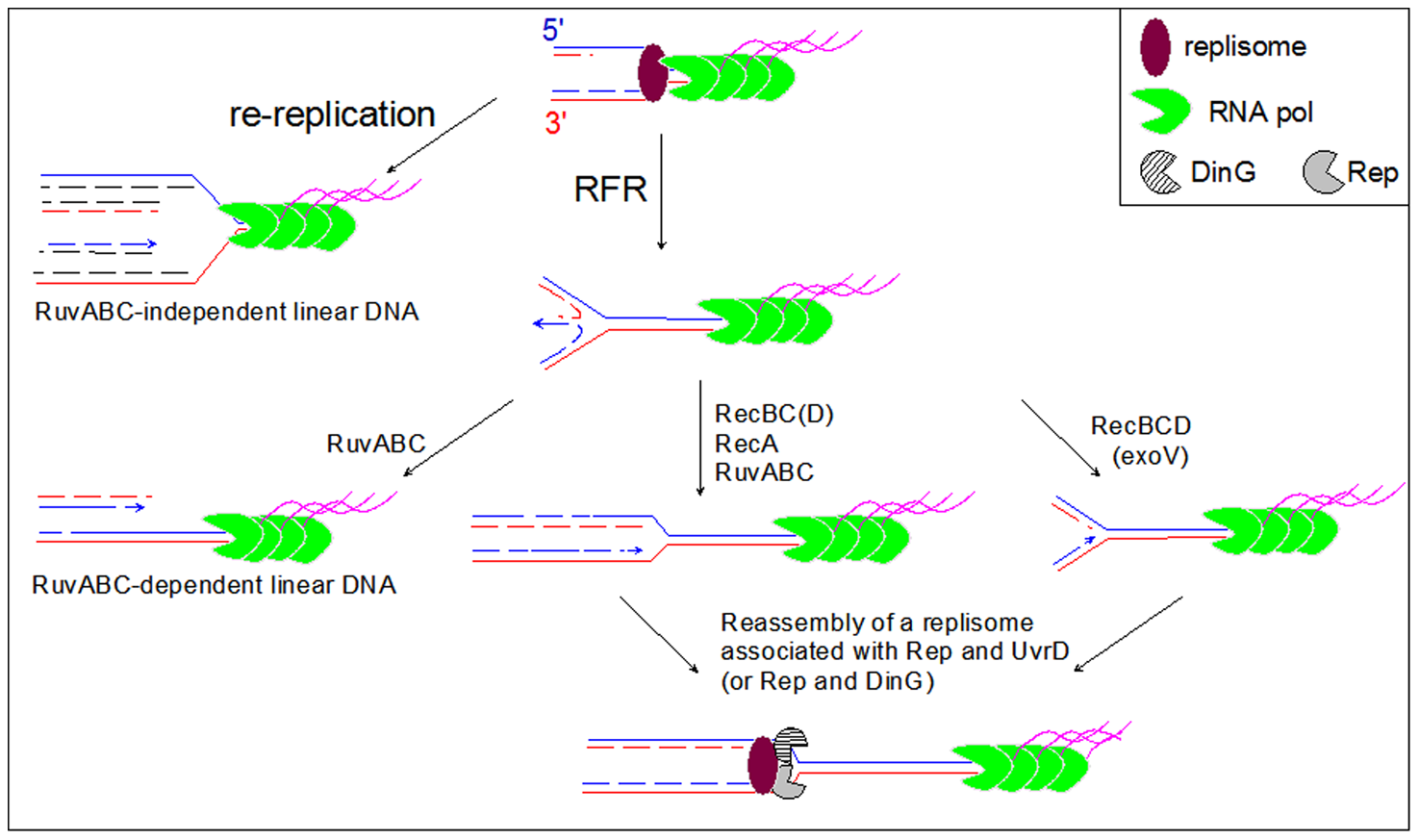 Model for the restart of forks arrested by a highly expressed, oppositely oriented <i>rrn</i> operon.