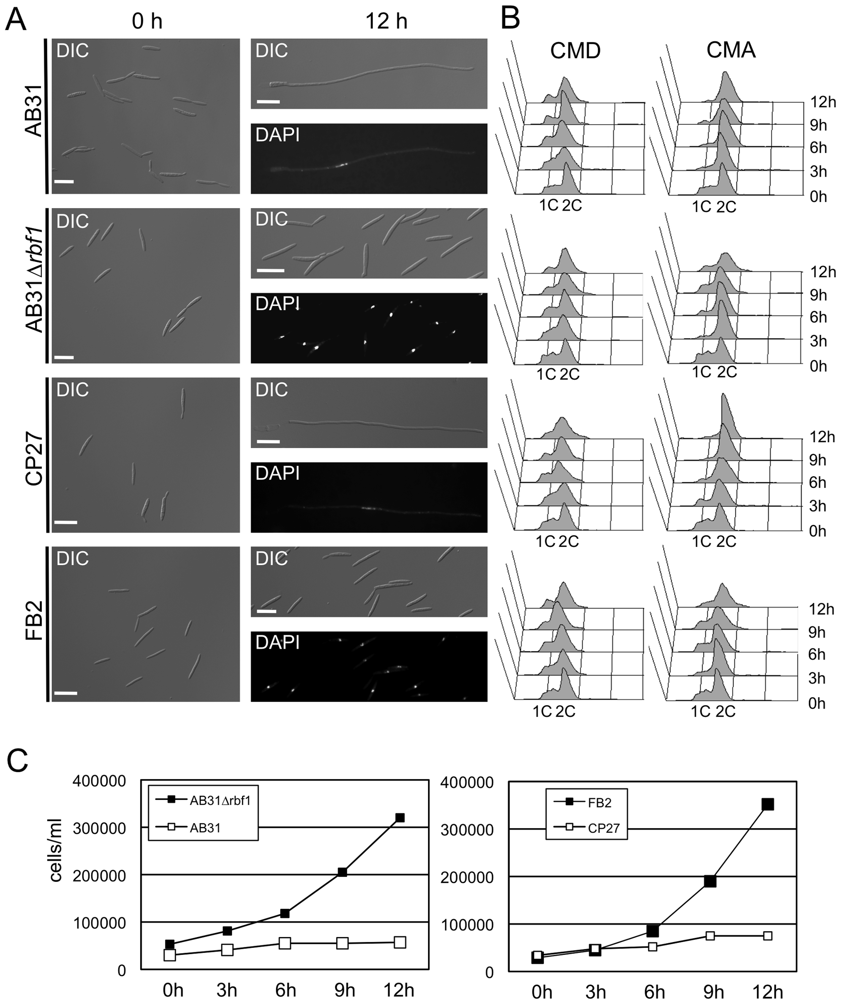 <i>rbf1</i> is required and sufficient for <i>b</i>-dependent filamentation and G2 cell cycle arrest.