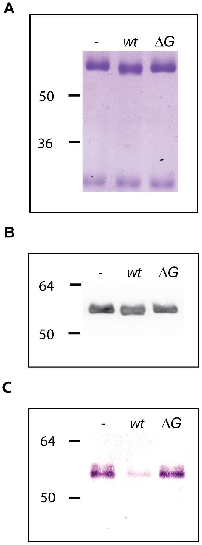 Human IgG deglycosylation.