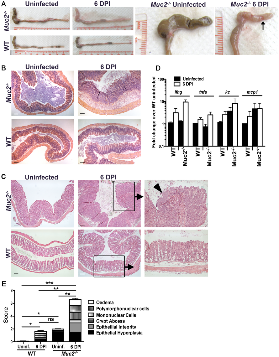 Heightened mucosal damage in <i>Muc2<sup>−/−</sup></i> mice is associated with increased pathogen burdens and mucosa-associated bacterial overgrowths.