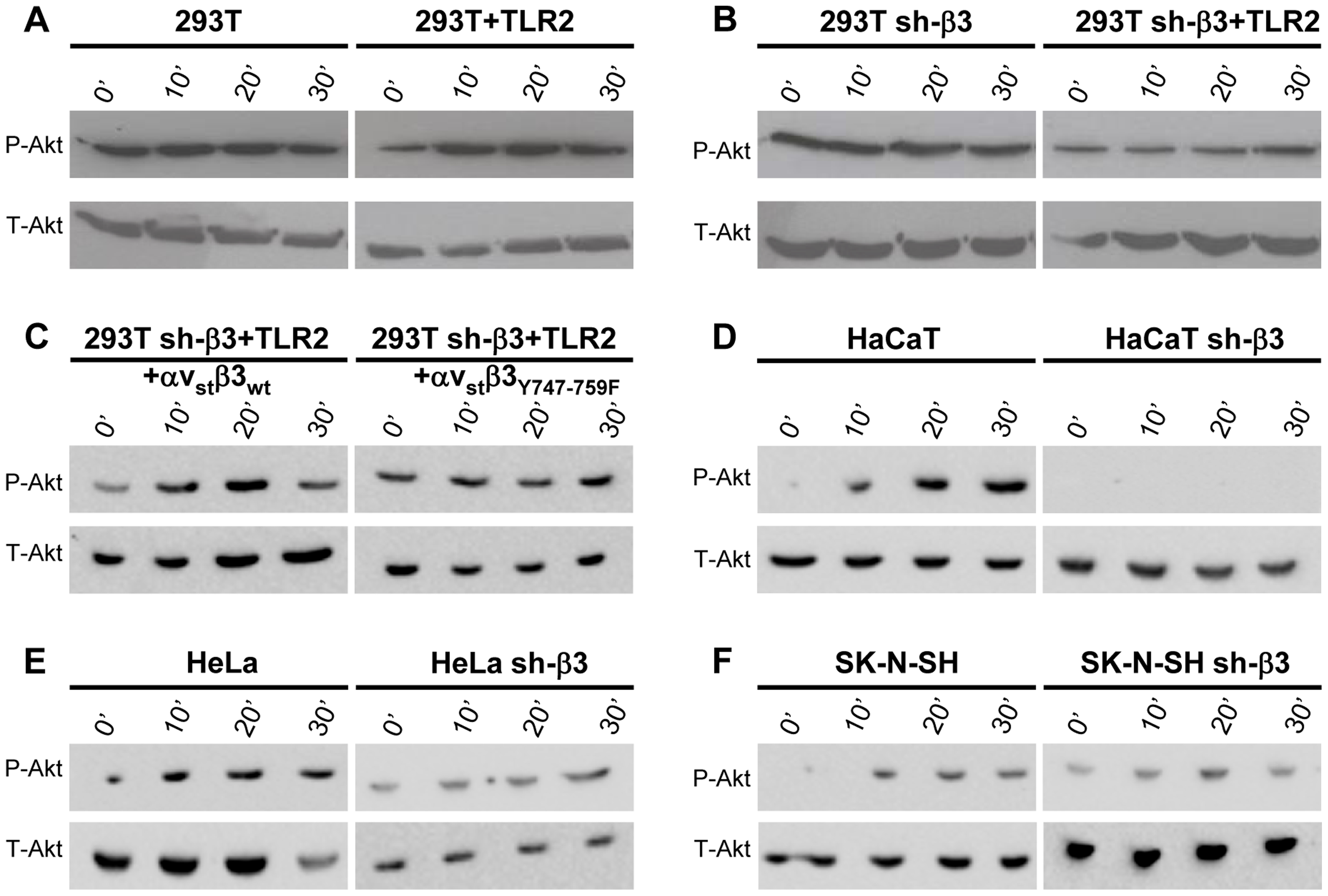 HSV-induced Akt phosphorylation dependent on αvβ3-integrin, its C-tail, and TLR2.