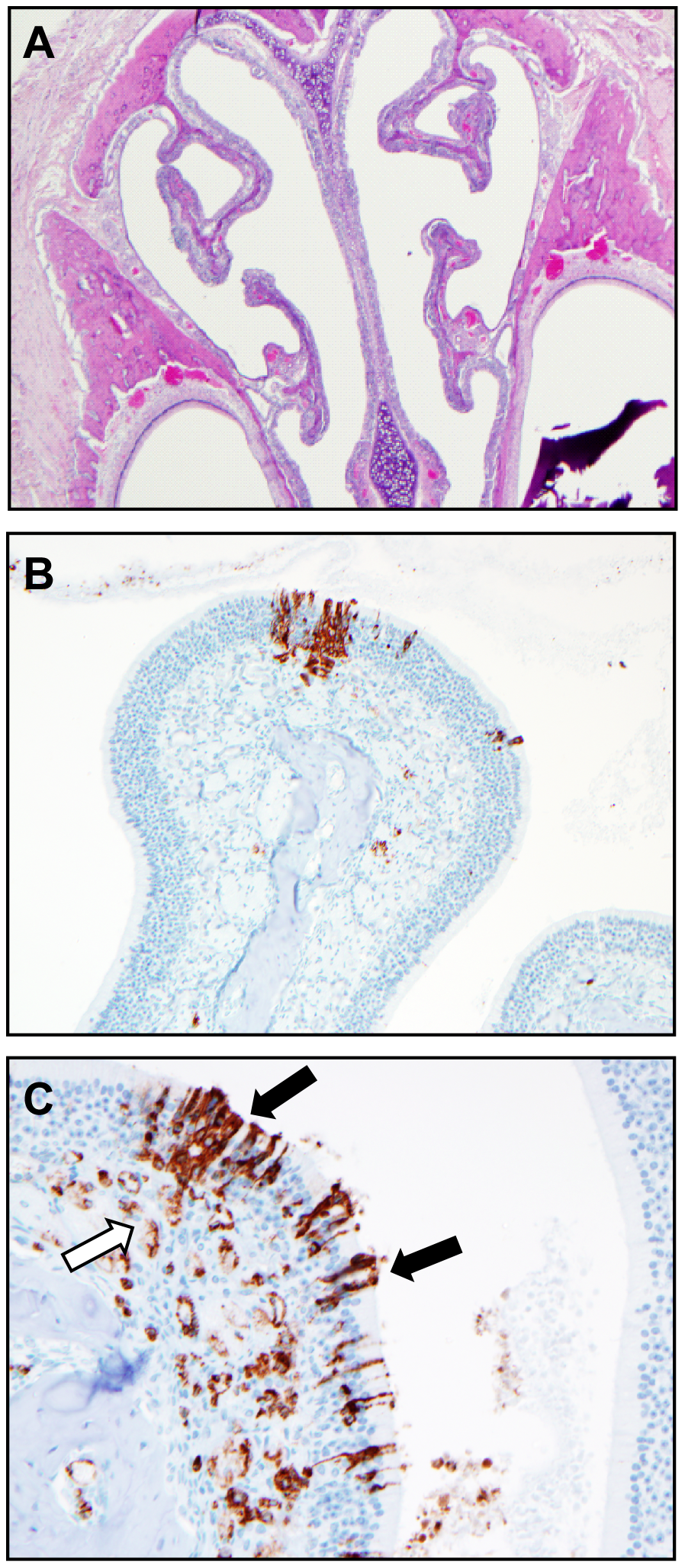 Histological analysis of the upper respiratory tract of Andes virus infected hamsters.