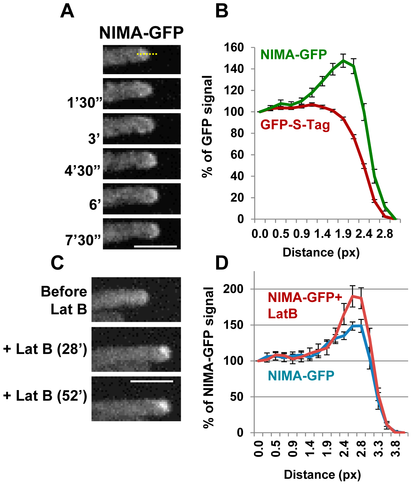 The NIMA kinase localizes to growing cell tips.