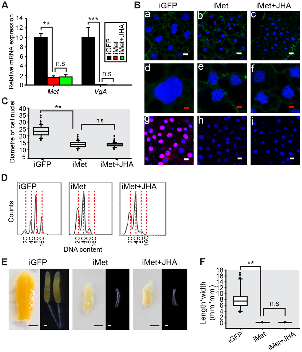 Effects of <i>Met</i> RNAi on DNA replication and vitellogenesis.