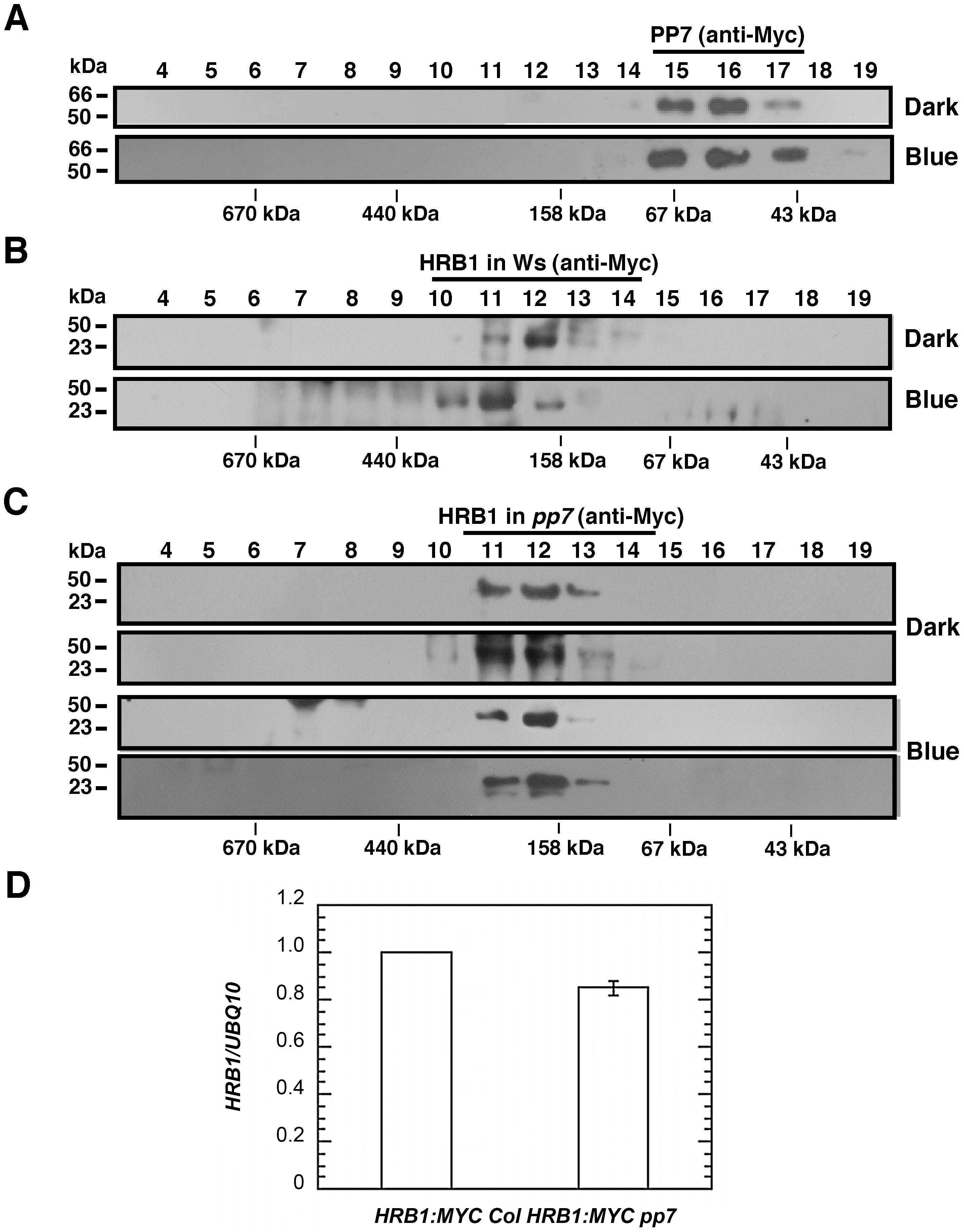 PP7 affects the assembly of a functional HRB1 protein complex.