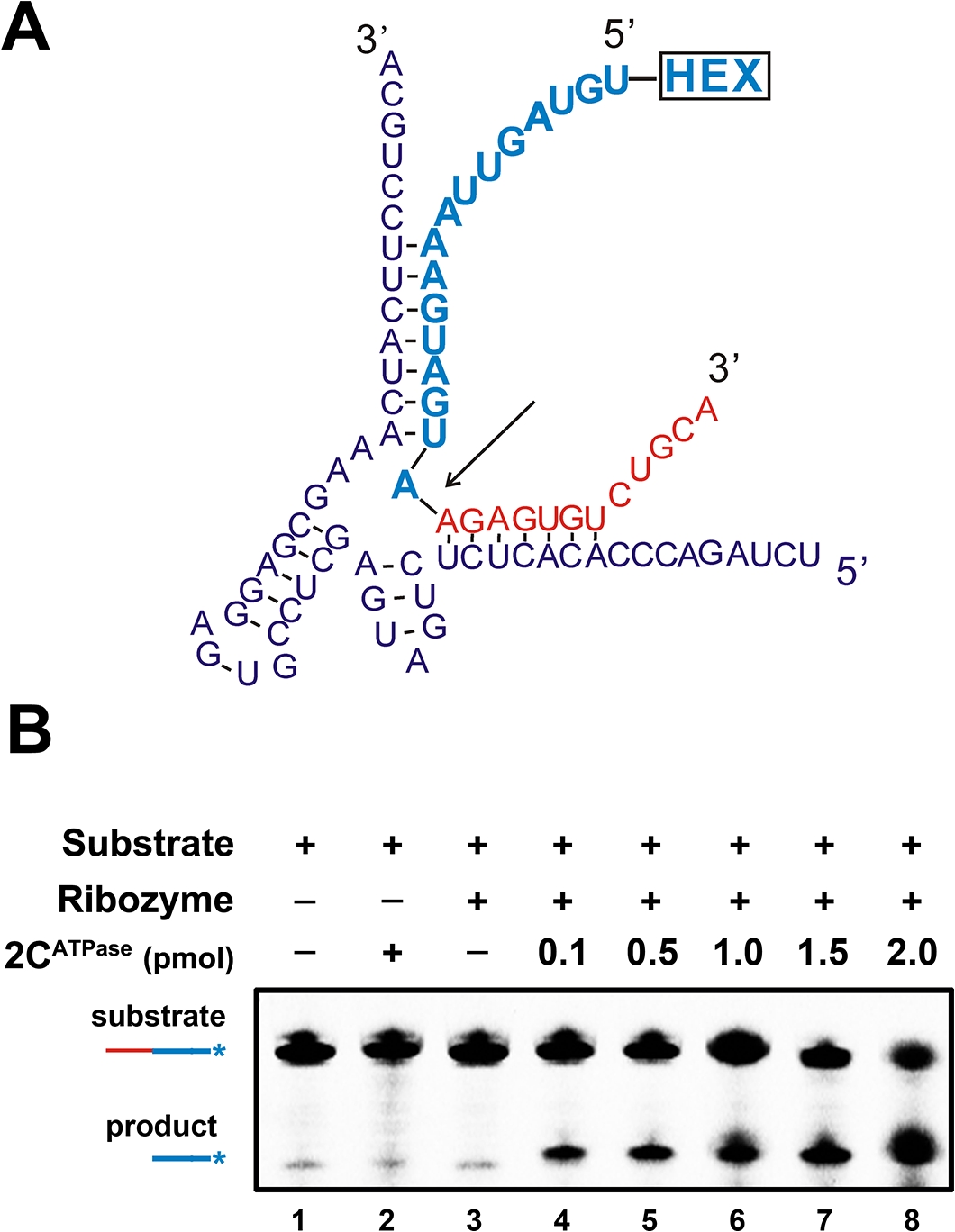 2C<sup>ATPase</sup> enhances hammerhead ribozyme activity.