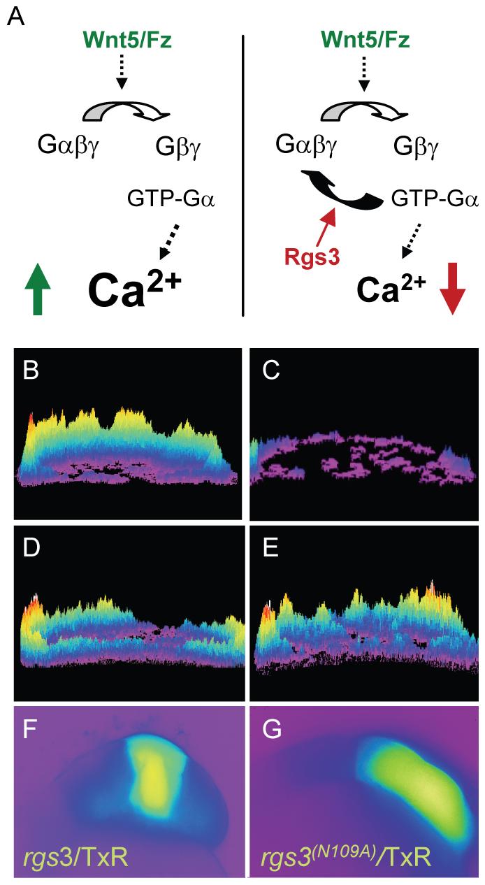 <i>rgs3</i> inhibits <i>wnt5b-</i>induced Ca<sup>2+</sup> dynamics.
