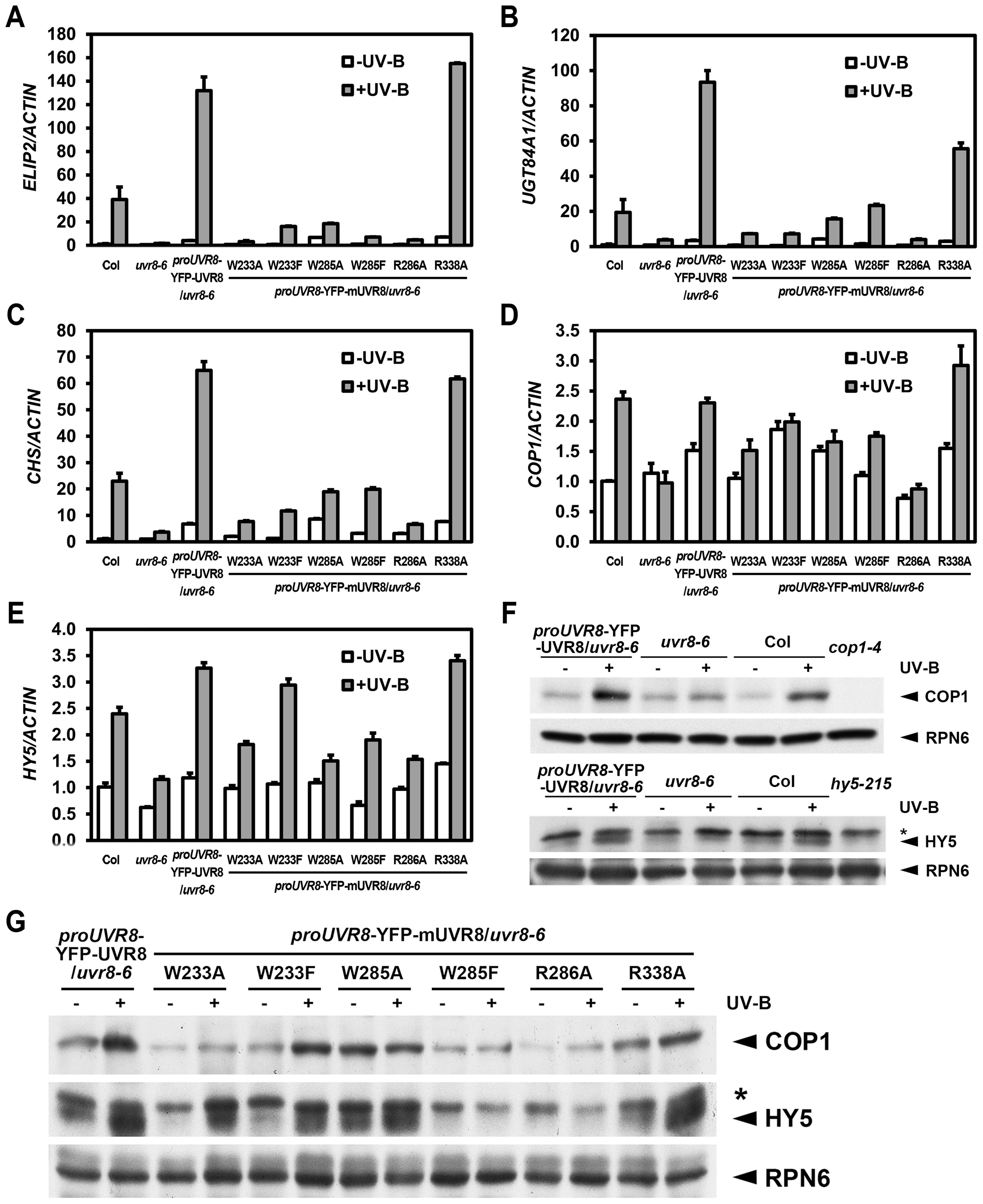 UVR8 mutations lead to abnormal UV-B-responsive gene expression.