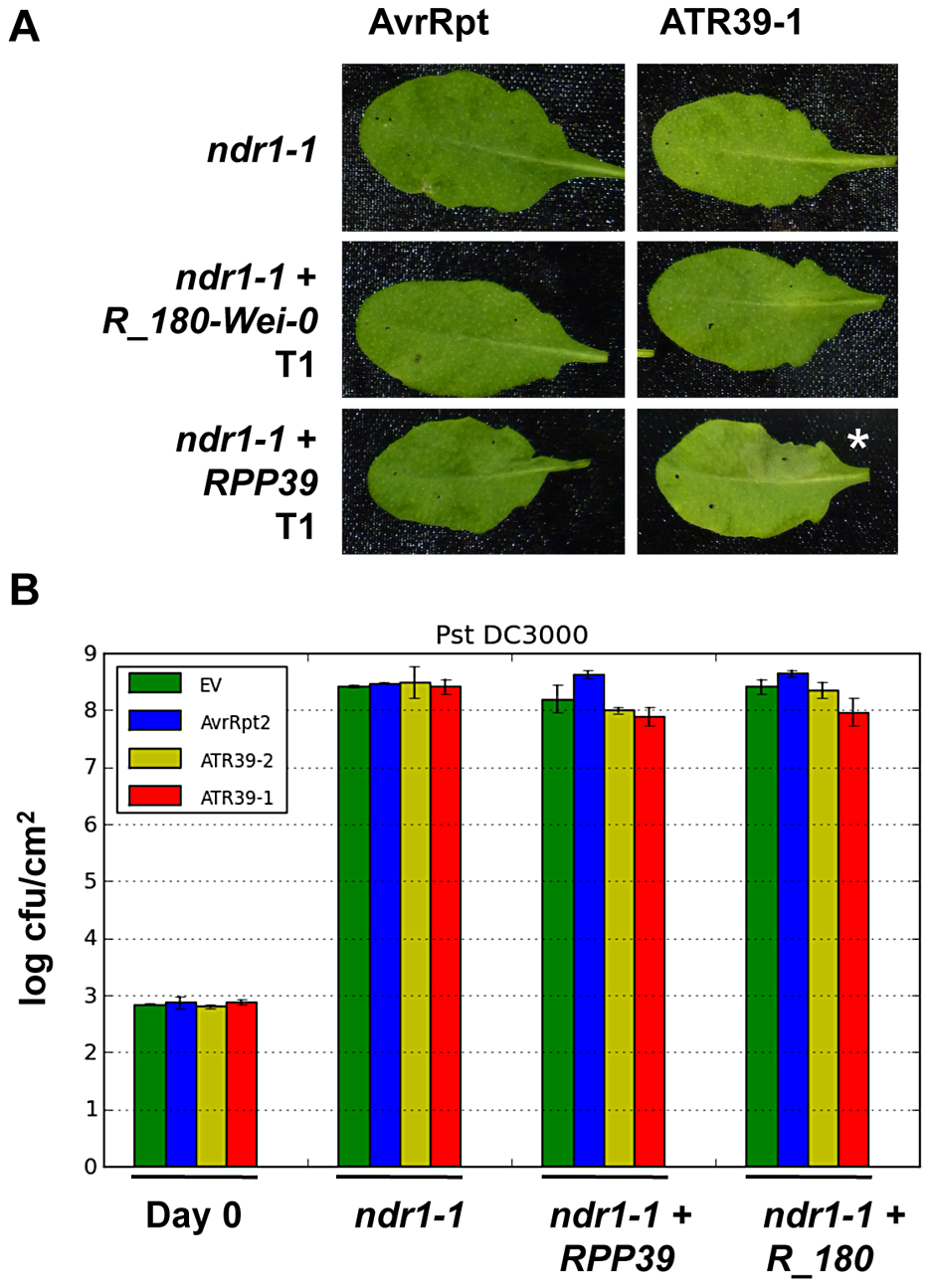 NDR1 is required for full resistance but dispensable for HR mediated by RPP39.