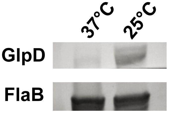 <i>B. burgdorferi</i> GlpD expression is temperature dependent.