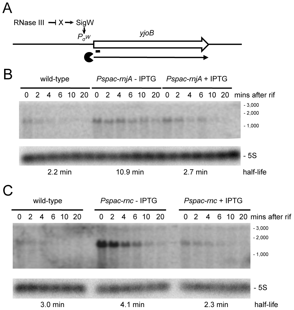 Degradation of the <i>yjoB</i> mRNA depends on RNase J1 while its transcription is dependent on RNase III.