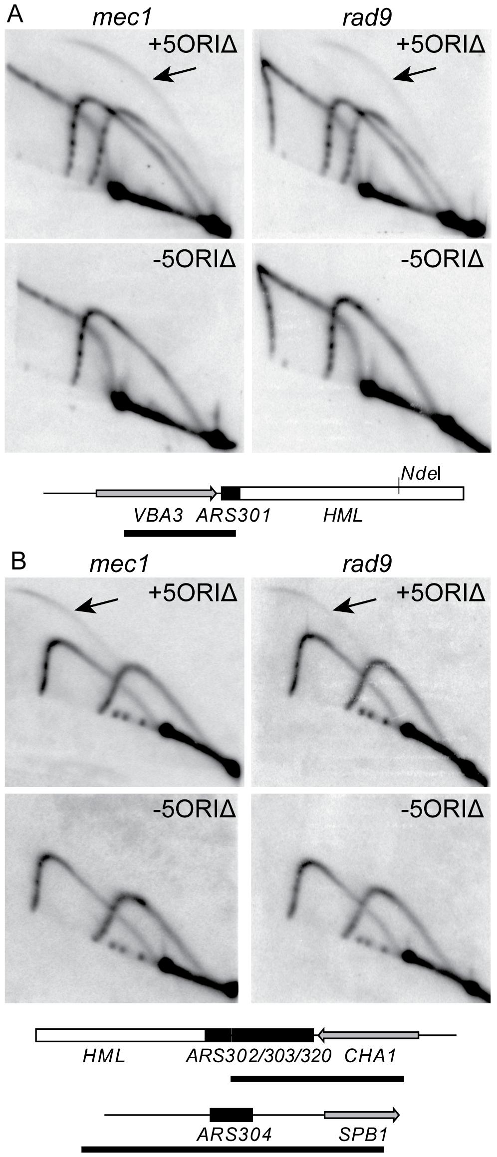Activity of dormant origins on full-length 5ORIΔ chromosome in <i>mec1</i> and <i>rad9</i> mutants.
