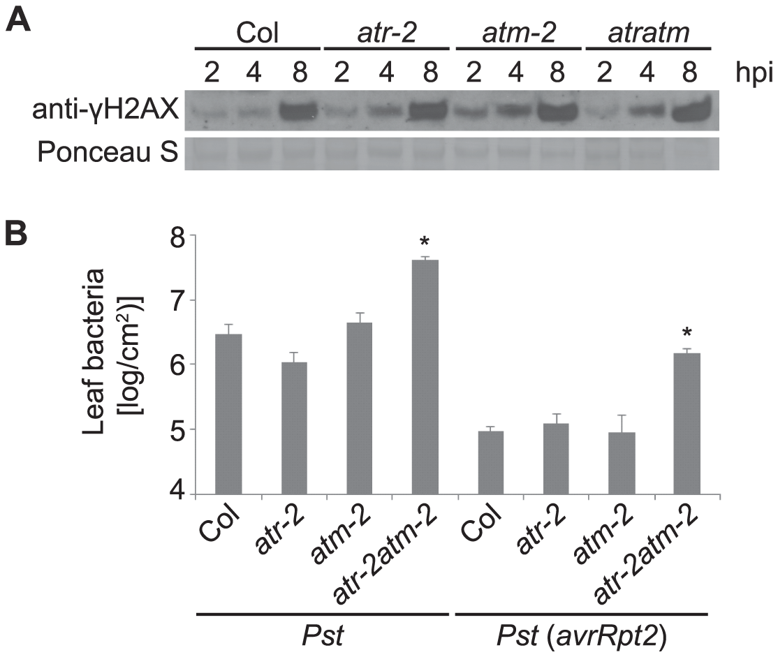 <i>Pst</i>-induced γ-H2AX accumulation is independent of ATR and ATM but <i>atr atm</i> double mutants are more susceptible to growth of <i>Pst</i> bacteria.