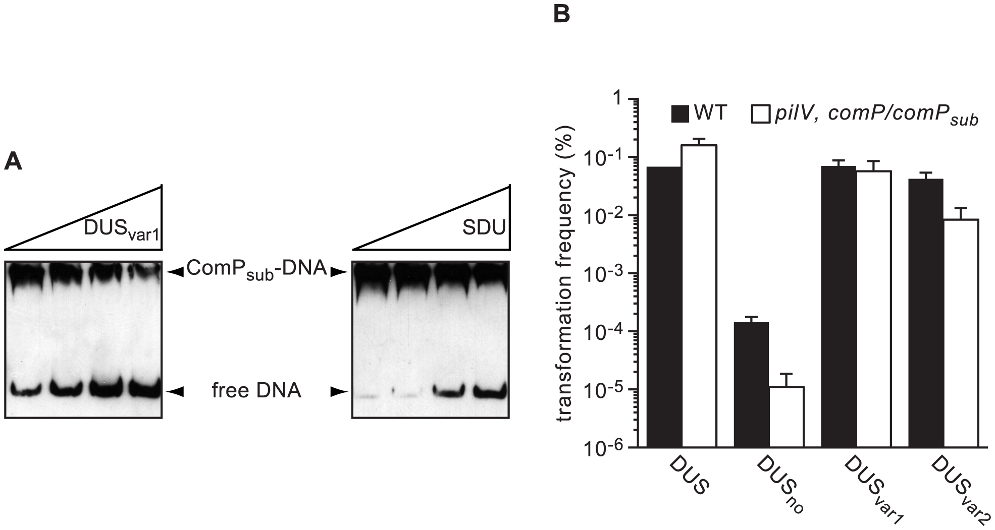 ComP homologs in other human <i>Neisseria</i> species are DNA receptors playing a similar role in transformation to meningococcal ComP.