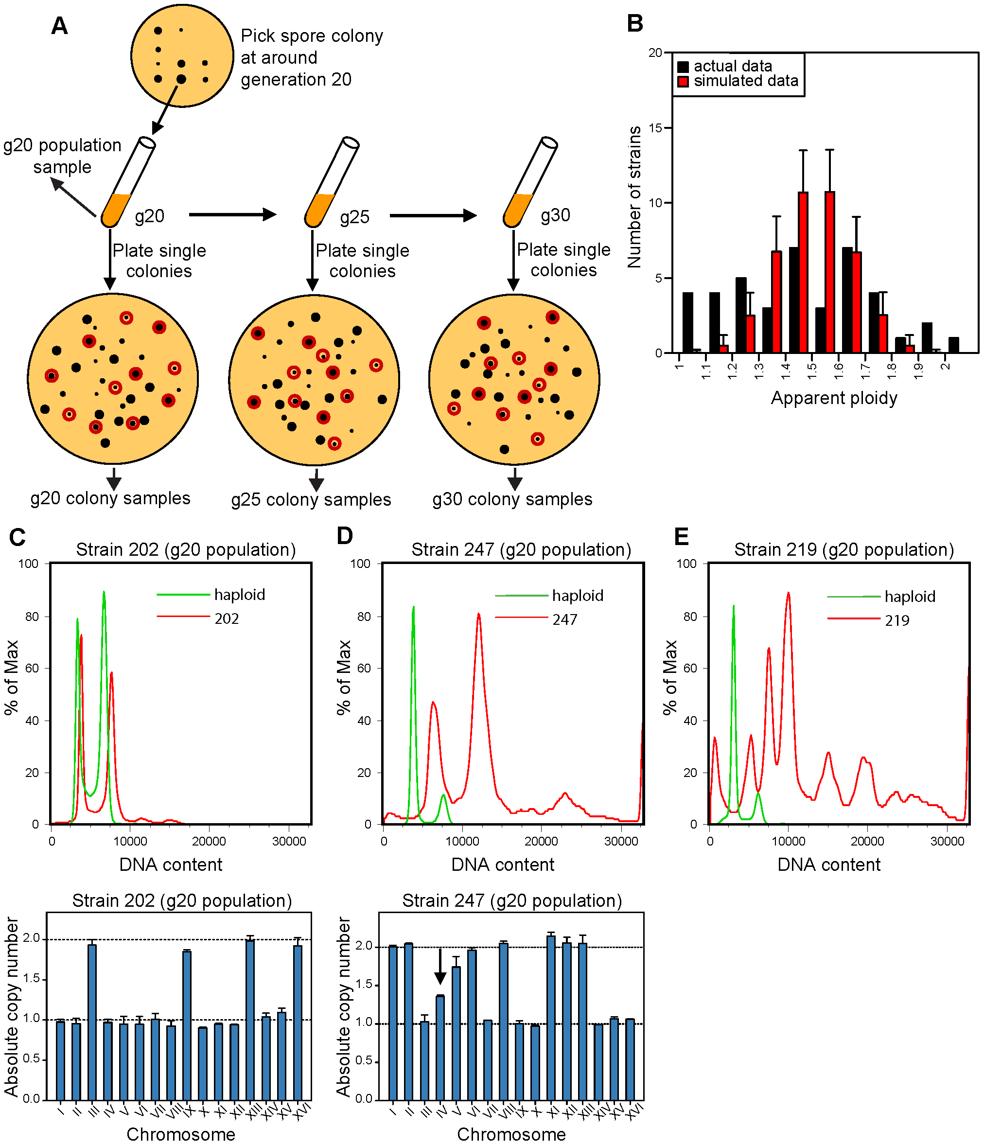 Isolation and karyotype analysis of aneuploid spore colonies after triploid meiosis.
