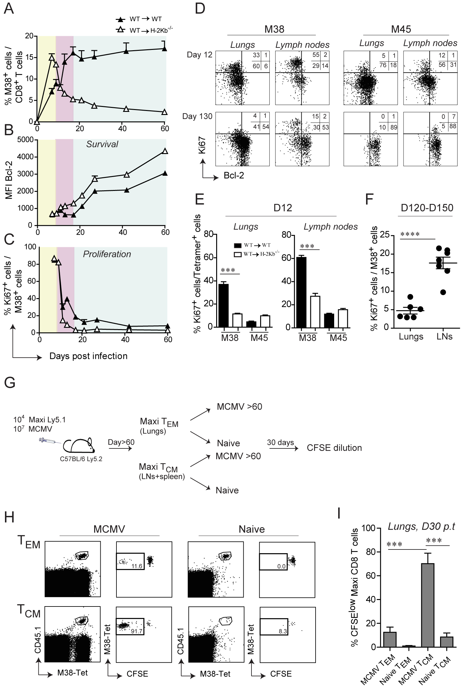 Non-hematopoietic cells promote extensive and systemic cell proliferation in the early phase of MCMV infection, but only local during latency.