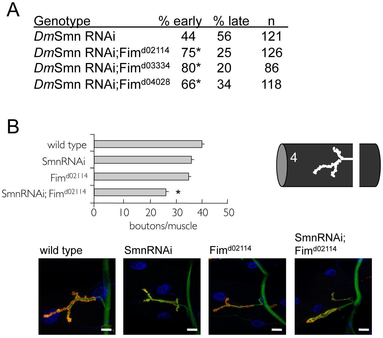 Loss of PLS3 orthologs enhances SMN loss of function defects in invertebrates.