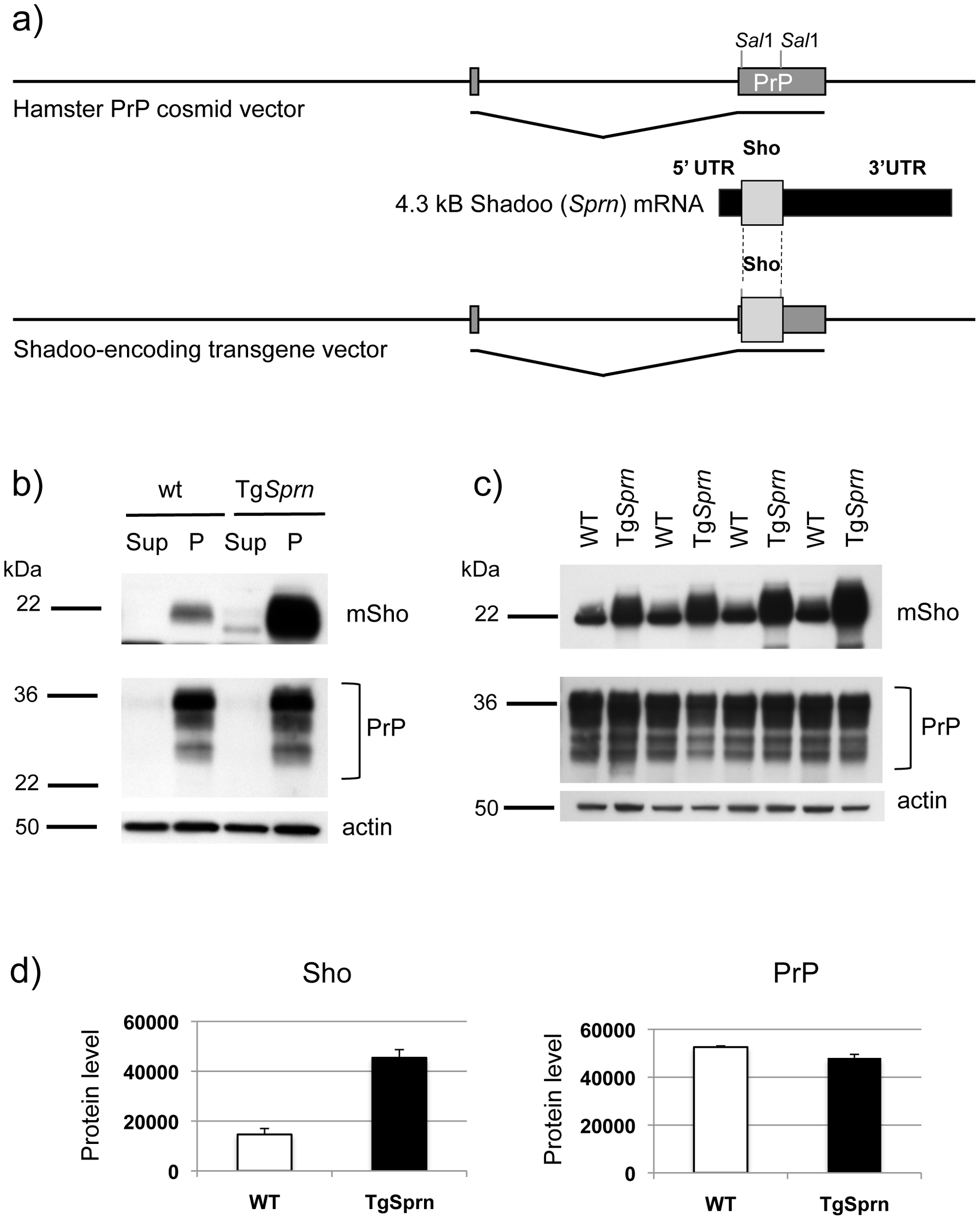 Tg<i>Sprn</i> transgenic mice and transgene-encoded Sho protein.