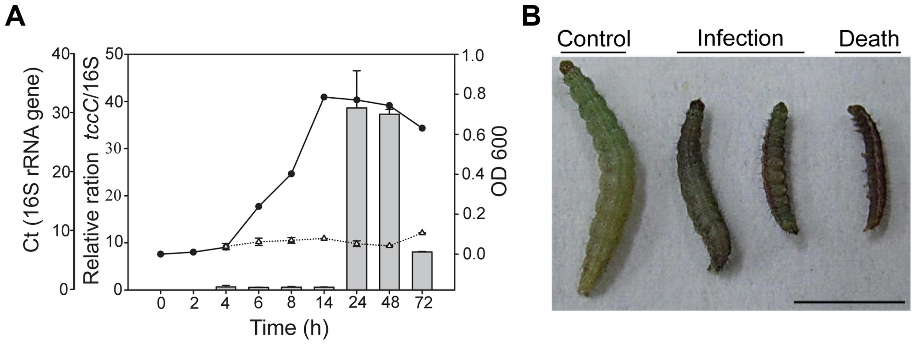 Relative expression levels of <i>tccC</i> and toxicity of <i>P. taiwanensis</i> to <i>P. xylostella</i> larvae.