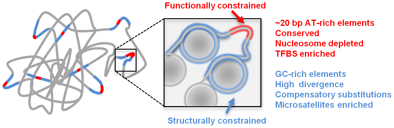 Schematic model of genome structure and function.